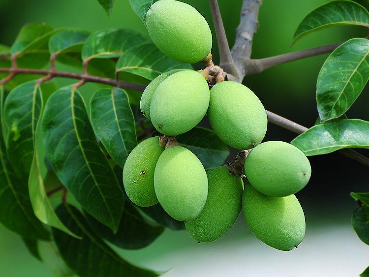 橄榄果的作用_中国红瓷 中国红瓷网 红瓷新鲜青橄榄果 别名黄榄,青果